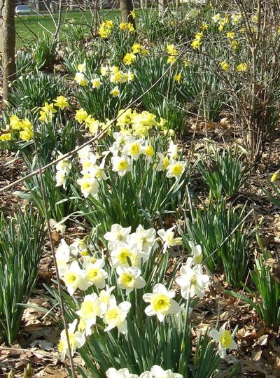 Daffodils closeup