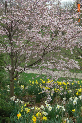 Daffodils and Pink tree