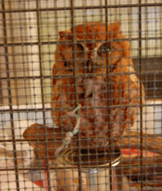 Injured screech owl in our cage