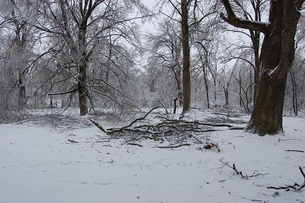 trees surrounded by fallen branches